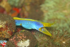 Blue ribbon eel gili air divers plongee
